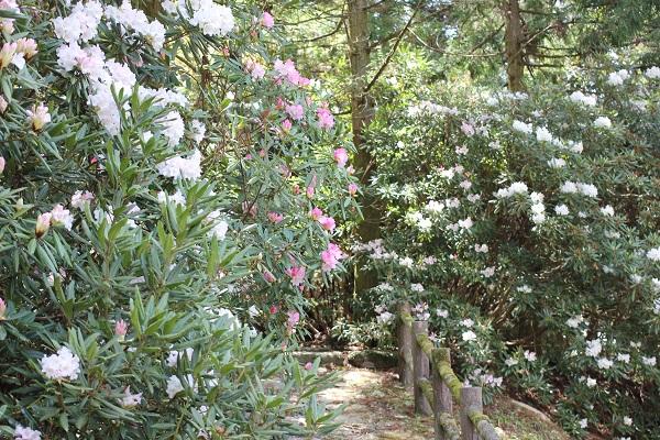 遊歩道に咲き乱れる石楠花の写真