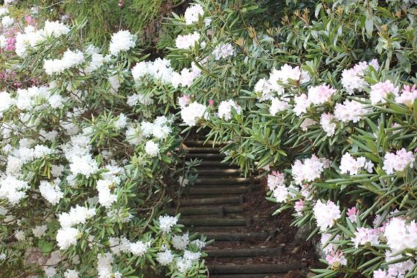 石楠花のトンネル階段の写真