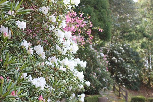 駐車場近くの公園に咲く石楠花の写真