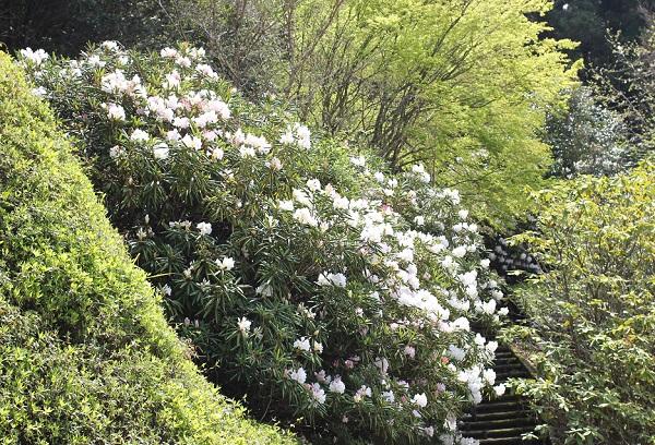 まだ咲いていないツツジの壁と白い石楠花の写真
