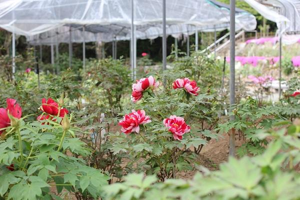 清水山ボタン園、テントの下に植えられてる牡丹園の写真