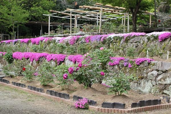 清水ぼたん園の入り口付近、芝桜、牡丹、牡丹の園の景色の写真
