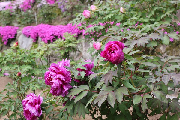 清水ぼたん園、芝桜と牡丹の写真