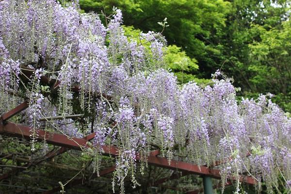 清水ぼたん園、藤の花の写真