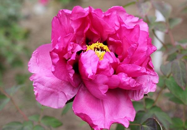 赤紫色の上品な牡丹のアップ写真