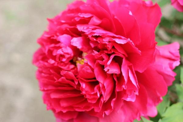 華麗な濃いピンク、牡丹のアップ写真