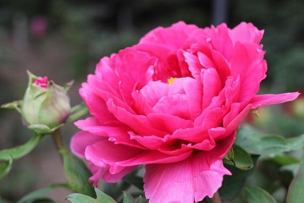 濃いピンク、とても綺麗な満開の牡丹とつぼみの牡丹のアップ写真