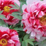 清水山ボタン園の美しい牡丹の写真