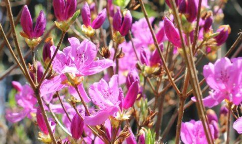 鮮やかに咲くミツバツツジの写真