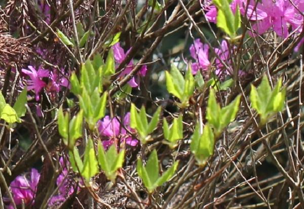ミツバツツジの葉が出てきた写真