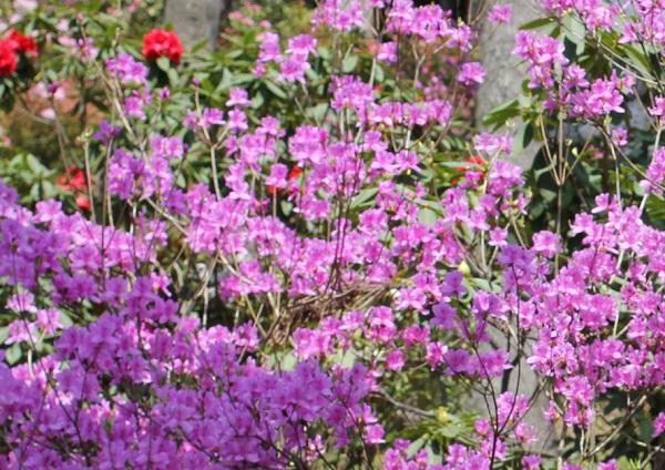 赤紫のミツバツツジがたくさん咲いてる様子の写真