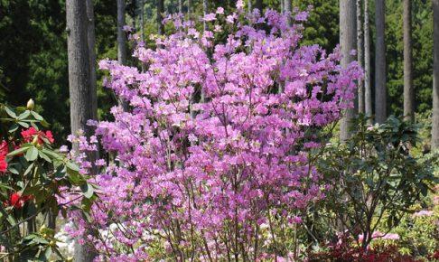 山にさいてる赤紫色の満開のミツバツツジの写真