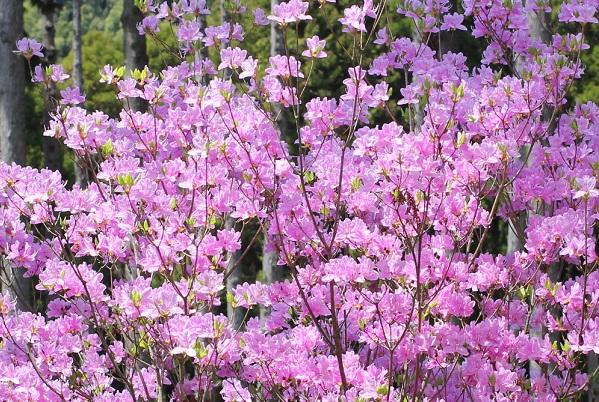 杉林に咲く満開のミツバツツジの写真