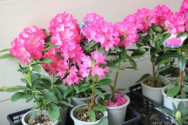 英彦山のシャクナゲまつりで販売されているシャクナゲの苗の写真