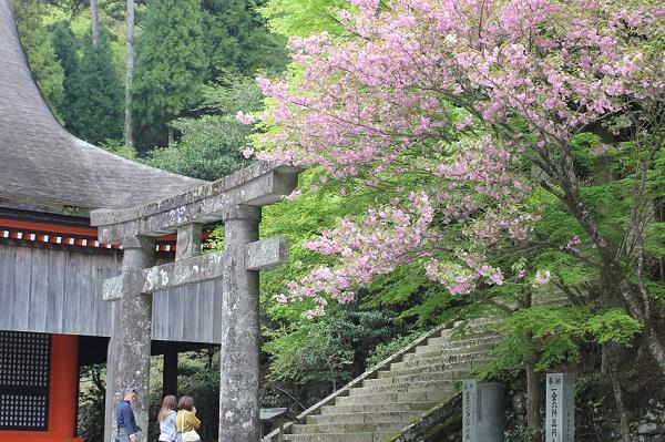 英彦山神宮奉幣殿の隣にある鳥居と階段、八重桜の写真