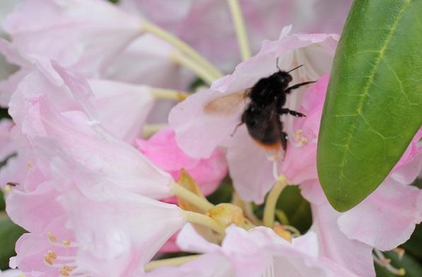 英彦山の花園、シャクナゲの花の中に蜜を集めに来た蜂の写真