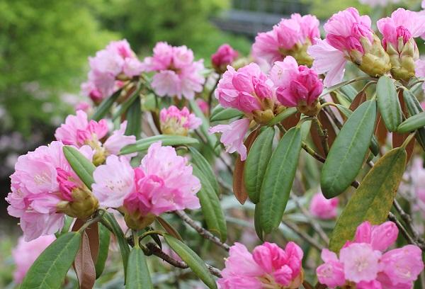 英彦山の花園、爽やかに咲き誇るシャクナゲの花の写真