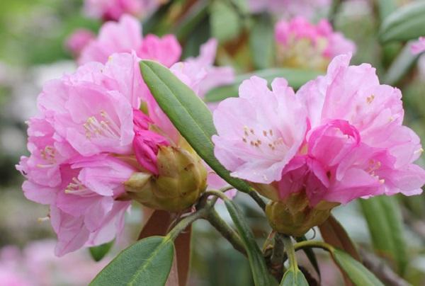 英彦山の花園、綺麗な濃いピンクのシャクナゲのアップ写真