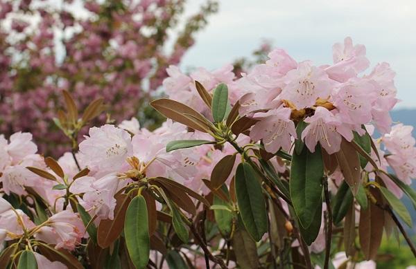 英彦山の花園、ピンクのシャクナゲの花の写真(背景が八重桜)