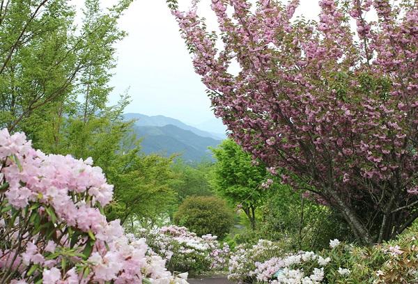 英彦山の花園、満開のシャクナゲと八重桜、新緑と山、散策道の写真