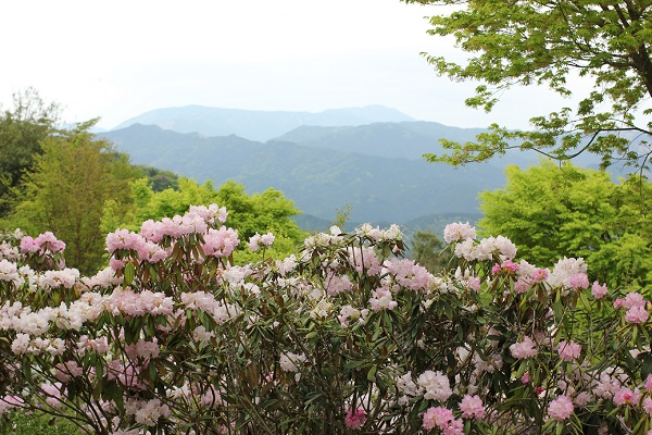 英彦山の花園、満開の満開に咲き誇るシャクナゲの花の写真(背景に山々と新緑)