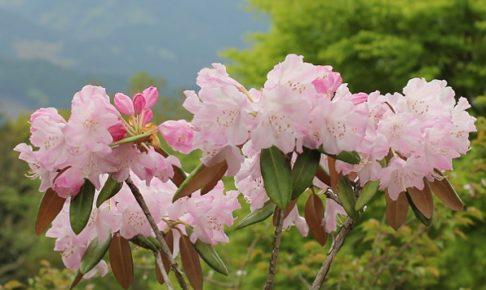 英彦山、山を背景に咲くシャクナゲの写真
