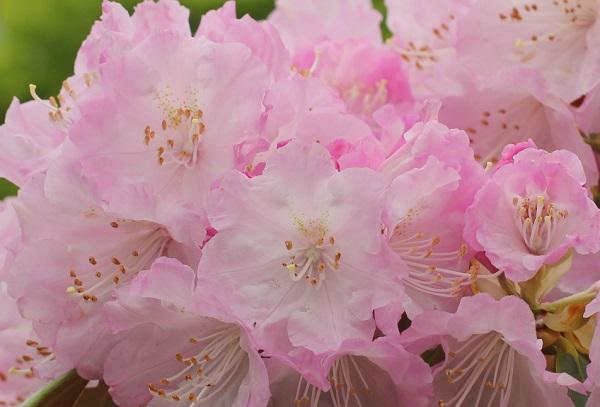 英彦山の花園、満開のシャクナゲの花の写真(小さい花が集まってる様子)