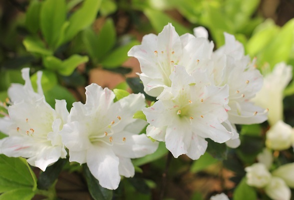 白いツツジの花と葉の写真