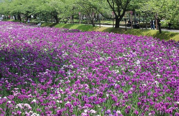 大村公園の菖蒲園、一面に咲く赤紫色の菖蒲の様子の写真