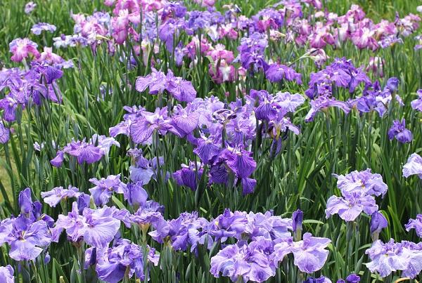 紫と赤紫の美しい菖蒲の花の写真