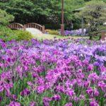 大村公園の菖蒲園の写真