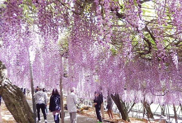 千財農園の入り口付近の美しい藤の様子と散策道の写真