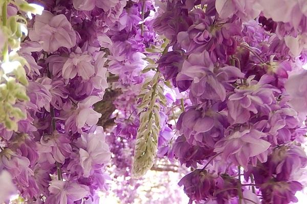 千財農園、美しい豪華な八重の藤、八重黒竜の写真