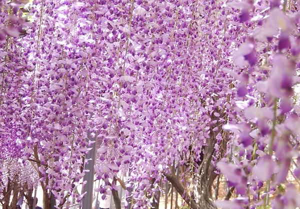 千財農園、シャワーのような紫色、満開に咲く藤の花々の写真