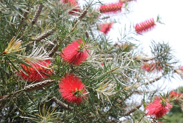 能古島アイランドパーク内に植えてあるブラシの木の写真