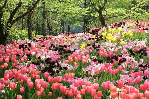 となみチューリップフェア、新緑を背景に色とりどりに咲き乱れるチューリップの写真