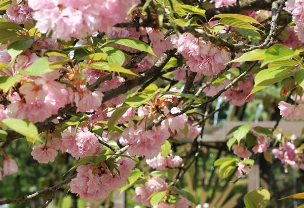 となみチューリップ公園に咲く八重桜の写真