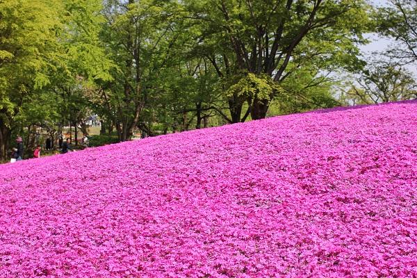 となみチューリップフェアの芝さくらの丘、きれいにさいてるピンクの芝桜の写真