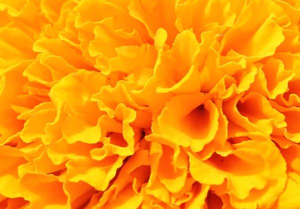 能古島アイランドパーク、オレンジ色のマリーゴールドのアップ写真