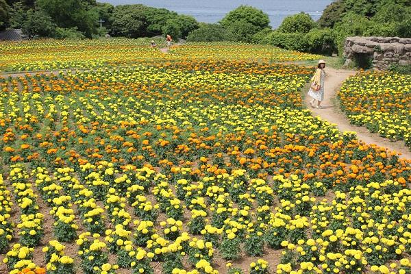 能古島アイランドパークのマリーゴールド園の写真