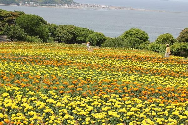 能古島アイランドパークのパノラマ園、海を臨むマリーゴールド畑の写真