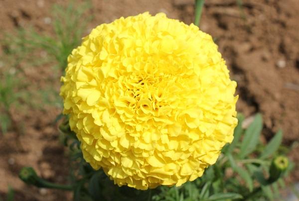 能古島アイランドパーク、黄色のマリーゴールドのアップ写真