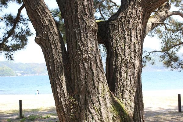 天橋立の杉並木、幹が3本に分かれている知恵の松の写真