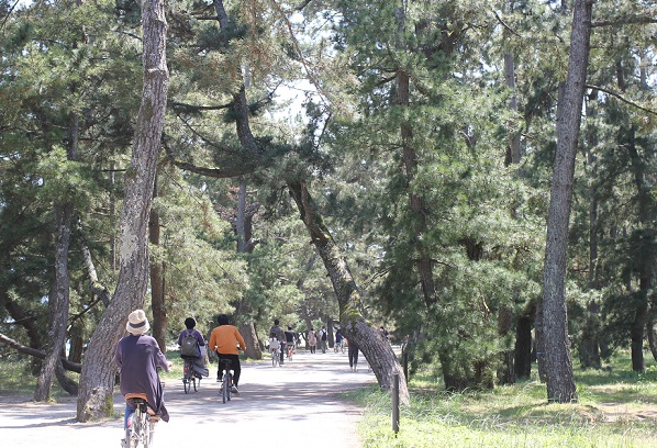 天橋立、杉並木の様子の写真