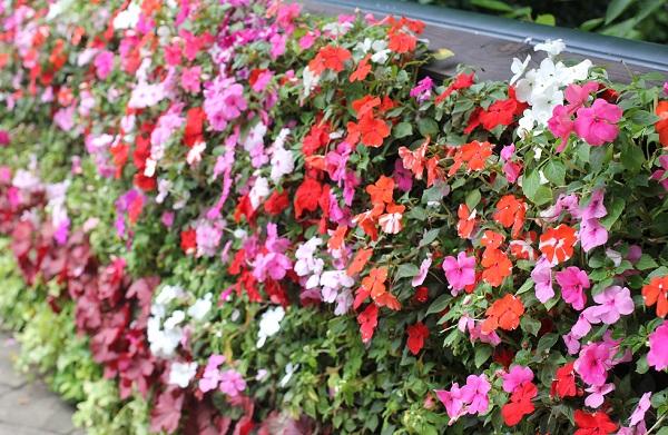 グラバー園に咲いている色とりどりのインパチェンスの写真
