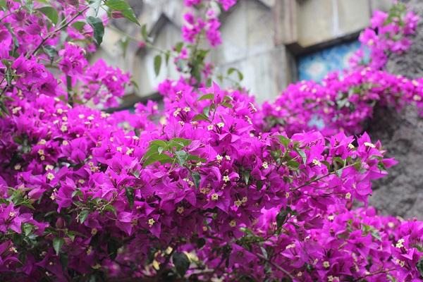 グラバー園に咲いてえうブーゲンビレアの写真