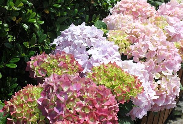 グラバー園のきれいな紫陽花の写真