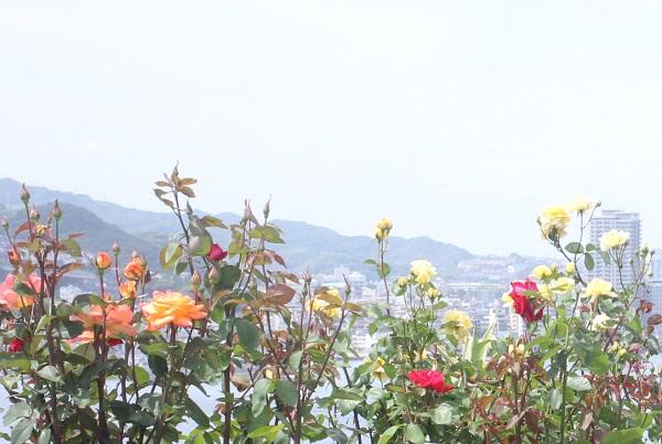 グラバー園、旧リンガー住宅の庭、港側の景色を背景に咲いているバラの写真