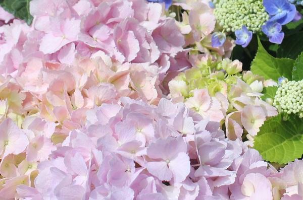 グラバー園、旧オルト住宅の紫陽花、ピンクとオレンジなど優しい色合いの紫陽花のアップ写真