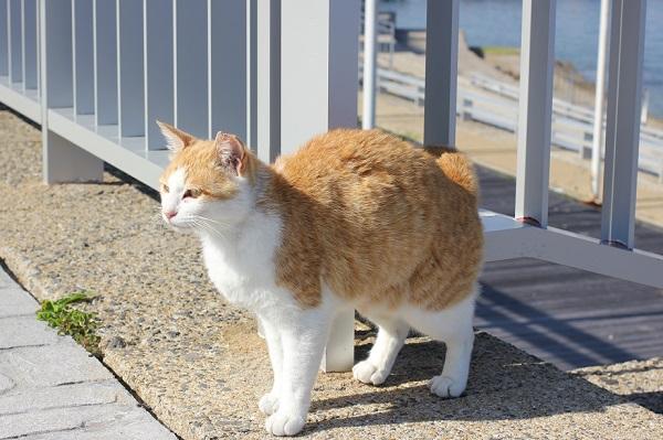 飛島を散策しているネコの写真